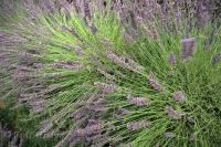 The scientific name for these lavender bushes is Lavandula x intermedia Grosso.