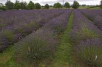 Lavender Fields Pictures