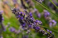 The flowers of the lavender plant are a picturesque field of beauty in Central Otago on the South Island of New Zealand.