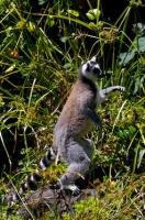 Picture Of A Lemur Catta