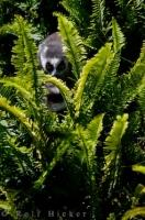 Lemur Catta Auckland Zoo