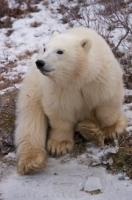 Small by polar bear standards, this little 11 month old cub reaches 6 feet in height when standing on his hind legs.
