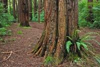 Lucys Gully Redwood Trees Egmont National Park NZ