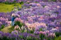 Standing on a knoll in the middle of a lupin field a tourist to New Zealand is in photography heaven.
