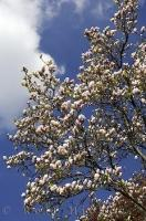 On the grounds of Weihenstephan in Bavaria, Germany you will come across a beautiful flowering Magnolia tree.