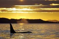 A golden sunset highlights the sky over Northern Vancouver Island in British Columbia, Canada while a male Killer Whale takes some time to rest in the lighting.