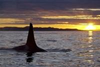 The yellow rays at sunset explode across the water off Northern Vancouver Island in British Columbia as a male Orca surfaces.