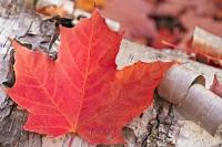 The red colour of this leaf means that fall has come to Canada. This Maple Leaf, which is a traditional symbol of Canada has fallen to the ground along the road to Rock Lake in Algonquin Provincial Park Ontario, where this picture was taken.