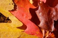 Fall Shades Maple Leaves