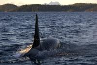A Killer Whale is at the top of the food chain in the marine mammal world and can often be seen at close range off Northern Vancouver Island in British Columbia.