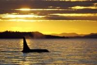A vivid yellow sky at sunset turns the water into molten gold and silhouettes the orca whale in this picture of a marine mammal.