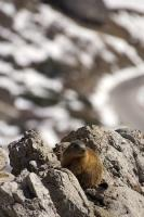A marmot posing upon the rocks seemingly waiting for his picture to be taken in the Dolomite Range in South Tyrol, Italy.