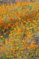 A patch of Mexican Gold Poppies adorn a slope in Organ Pipe National Monument in the State of Arizona, USA.