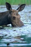 With one eye very aware of what the camera is doing, a moose tries to enjoy one of his meals in a lake in Ontario, Canada.