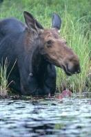 A large moose decides it is time for some food and a swim in a lake in Ontario, Canada.