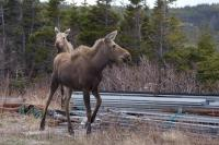 As two moose wander close to the road on private property in St. Lunaire-Griquet in Newfoundland, Canada, a photo was easy to capture.