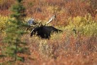 A beautiful sight, a moose bull grazing amongst the fall coloured foliage of the Denali National Park of Alaska.