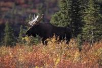 A moose bull stands in a field surrounded by beautiful fall foliage and forest in the Denali National Park in Alaska, USA.