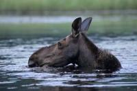 A moose feeds in a lake in the Algonquin Provincial Park in Ontario, Canada.