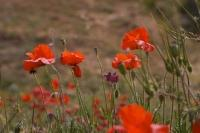 Many of the fields near Morella, Spain in Europe have poppies flourishing in the Spring which can blanket the landscape into beautiful red hues.