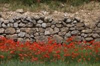 A stone wall is brightened by red poppies near Morella in the El Maestrat area of Valencia, Spain in Europe.