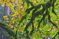 These moss covered branches reach down to the ground almost like twisted fingers during fall in the rain forest of Goldstream Provincial Park and the leaves have turned red and yellow as they prepare to fall off the trees in this park on Vancouver Island.