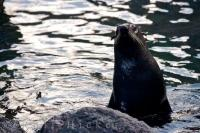 Mother Fur Seal Cape Palliser Seal Colony NZ