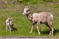 Mountain Animals Bighorn Sheep Lake Banff National Park Alberta