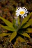 A young Mountain Daisy plant blooms on the slopes of Mt Ruapehu on the North Island of New Zealand.