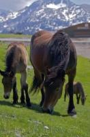 Two Horses and a foal graze relaxed in a field at Port de la Bonaigua in the Pyrenees Mountain Range of Spain.