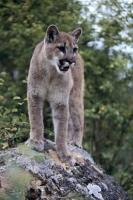 A mountain lion stands on a rock for an overview of its territory on Vancouver Island, British Columbia, Canada.