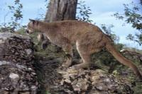 Preparing to pounce on its prey, mountain lions are similar to domestic cats in the way they stalk then pounce, like this cougar on Vancouver Island.