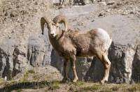 These Mountain Sheep can be seen while traveling along the Bow Valley Parkway in the Rocky Mountains of Canada, Alberta.