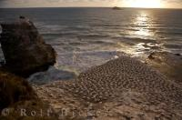 A brilliant sunset shines across the surface of the ocean to the Muriwai Beach Gannet Colony near Auckland, New Zealand where these birds breed and nest on the rugged coastline.