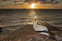 A single gannet situs upon the rock cliff at the Muriwai Gannet Colony near Auckland, New Zealand as the sunset turns another day into a magical evening.