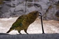 The Kea is a native bird found in alpine regions on the South Island of New Zealand.