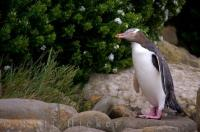 Native Yellow Eyed Penguin Bird South Island New Zealand