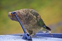 A Cheeky Kea, proper name Nestor notabilis, takes a closer look at a car antenna in the Fiordland National Park, which is located along the Milford Road near the Homer Mountains in the South Island of beautiful New Zealand.