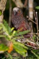 A Kaka is a native bird to New Zealand and this one resides at the Pukaha Mount Bruce National Wildlife Centre in Wairarapa.
