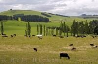 A typical farmland scene in the countryside of the South Island of New Zealand.