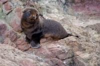 A cute New Zealand Fur Seal Pup sits alone on the rocks at the Cape Palliser Seal colony in Wairarapa on the North Island of New Zealand.