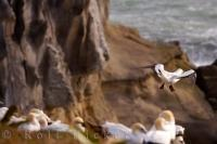 One bird from the Gannet Colony at Muriwai Beach on the North Island of New Zealand, takes flight to soar the sky, while the rest of the colony stays put on the cliff.