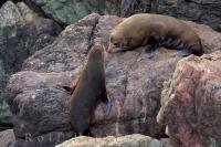 A young New Zealand Fur Seal, shimmies himself up the steep rocks towards his friend at the Cape Palliser Seal Colony on the North Island of New Zealand while the other ocean animals stay in the water.