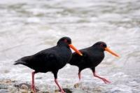 Variable Oyster Catchers are easily recognizable on the coastline of New Zealand as they have black plumage, bright orange eyes and beak with a tinge of yellow at the tip.