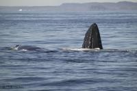 Humpback whales are frequent visitors to the waters surrounding Newfoundland, Canada.