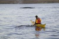 kayaking with whales Newfoundland Coast