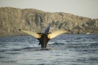 Newfoundland Whale Watching Strait of Belle Isle