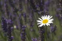 Stock photo of a white daisy flower set amongst the vivid purple spikes of lavender plants.