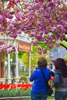 Of the many tourist attractions available in the Niagara region of Ontario, the quaint town of Niagara-on-the-Lake is one at the top of the list. During the spring months brightly colored tulips and trees laden with cherry blossoms line the tidy streets.