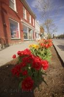The streets of Niagara on the Lake are lined with a variety of flowers including Tulips.